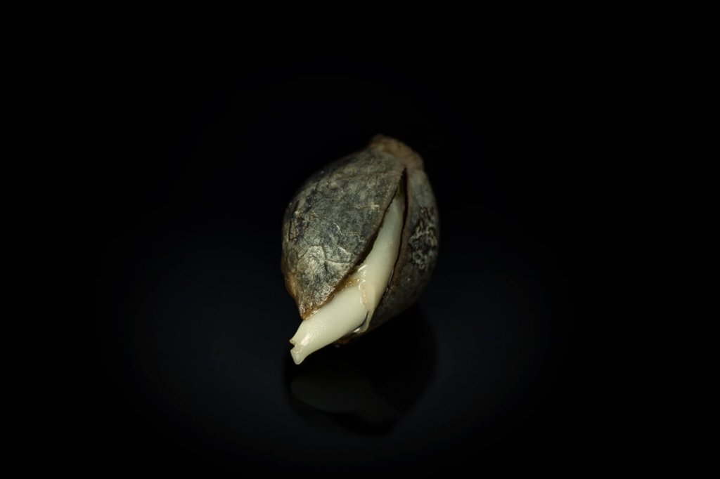 Cannabis Seeds Quality: What To Know Before You Grow - RQS Blog