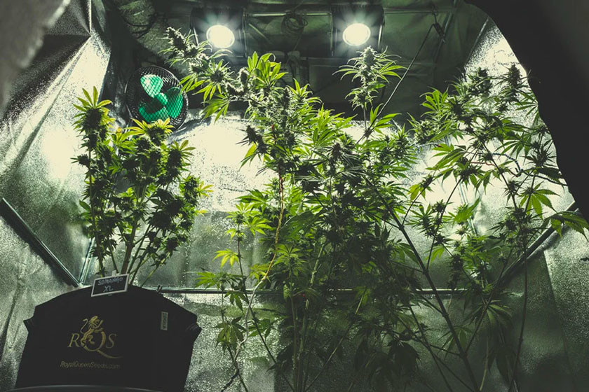 Growing Cannabis Indoors