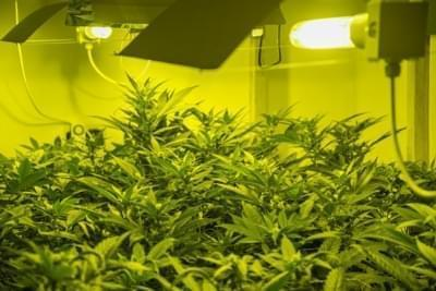 Make The Most Of Your Leds 5 Tips For Cannabis Led Growing Rqs Blog