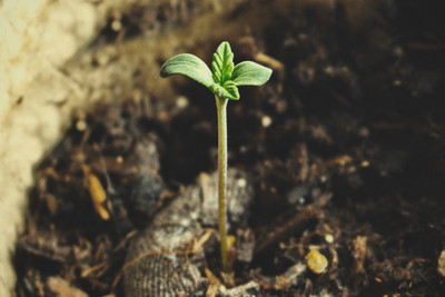 Is It Safe To Touch Cannabis Seeds With Your Bare Hands? - RQS Blog