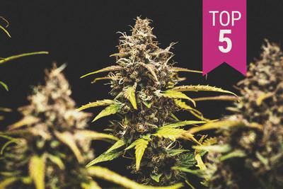 The Indoor Marijuana Grower S Guide To Artificial Lights Rqs Blog