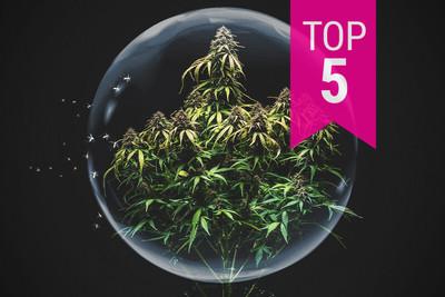 Top 5 Strongest Cannabis Strains - RQS Blog