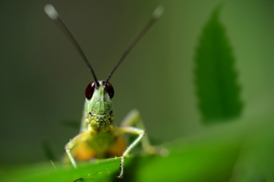 How To Protect Your Cannabis Crop From Grasshoppers - RQS Blog