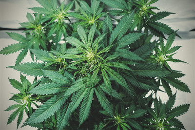 Nutrient Burn In Cannabis: How To Identify, Fix, & Prevent The